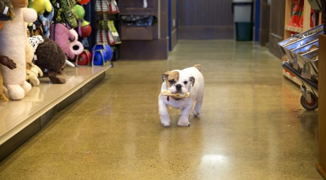 bulldog walking through store
